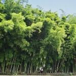 La Guadua, Acero Vegetal Y Prodigio de la Naturaleza
