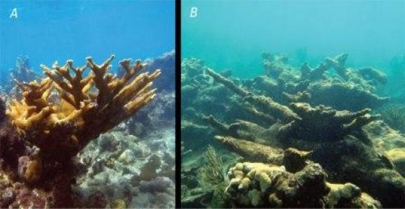 """Arriba: Los corales y arrecifes de coral se ven gravemente amenazados por procesos tales como la acidificación de los océanos: A, """"saludable"""" arrecife de coral con la vida Acropora palmata y buena calidad del agua. B, los arrecifes de coral degradado con los muertos palmata A. y mala calidad del agua. Procesos tales como la acidificación de los océanos están transformando rápidamente los arrecifes saludables en arrecifes degradados en Puerto Rico y otros países del Caribe y el oeste de las regiones tropicales del Océano Atlántico. Foto: Ryan Moyer, el sitio web del USGS."""